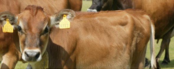 共進牧場さんで育てられているジャージ牛